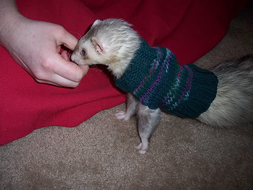 Knitting Patterns For Guinea Pig Clothes : Clothing for Other Pets   knit and crochet   free patterns ...